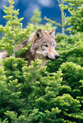 WOV 09 KH0046 01 © Kimball Stock Close-Up Of Gray Wolf Peeking From Behind Trees
