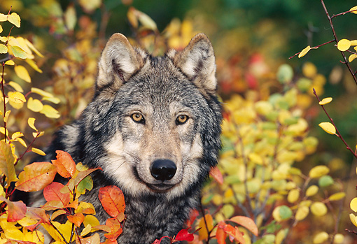 WOV 09 KH0047 01 © Kimball Stock Close-Up Of Gray Wolf Peeking From Behind Autumn Leaves