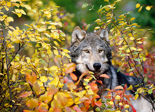 WOV 09 KH0048 01 © Kimball Stock Close-Up Of Gray Wolf Peeking From Behind Autumn Leaves
