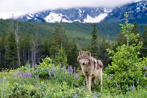 WOV 09 KH0050 01 © Kimball Stock Gray Wolf Standing In Field In Mountains
