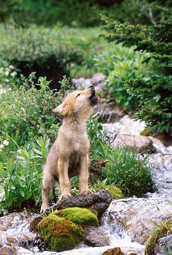 WOV 09 KH0051 01 © Kimball Stock Gray Wolf Pup Standing By Stream Howling