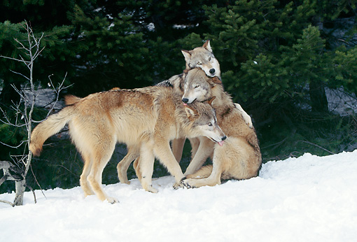 WOV 09 LS0002 01 © Kimball Stock Three Gray Wolves Playing On Snow By Woods