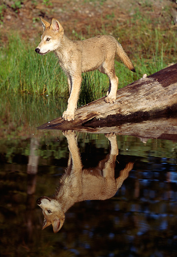 WOV 09 LS0004 01 © Kimball Stock Portrait Of Gray Wolf Pup Standing On Sunken Log At Edge Of Lake
