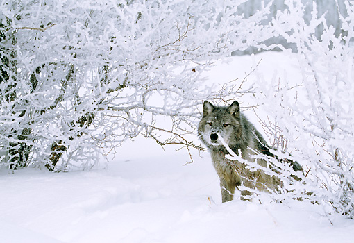 WOV 09 LS0005 01 © Kimball Stock Portrait Of Gray Wolf Sitting By Snow-Covered Shrubs