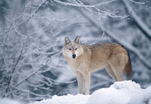 WOV 09 LS0006 01 © Kimball Stock Portrait Of Gray Wolf Standing In Woods During Snowfall