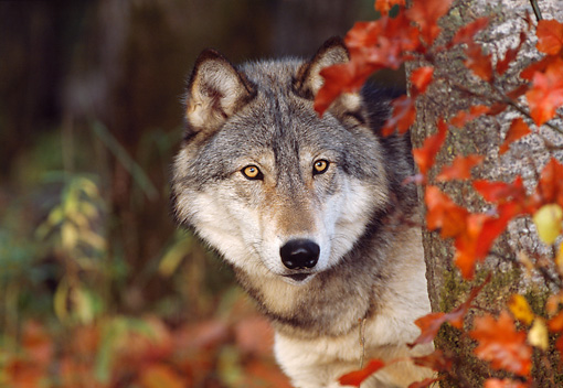 WOV 09 LS0008 01 © Kimball Stock Head Shot Of Gray Wolf Peeking Around Tree Autumn