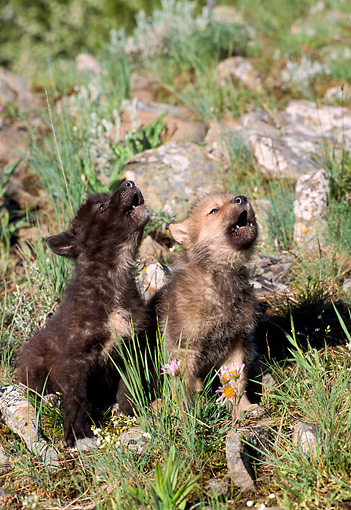 WOV 09 NE0003 01 © Kimball Stock Two Gray Wolf Pups Howling On Hillside Of Spring Flowers Montana