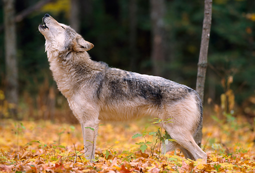WOV 09 NE0005 01 © Kimball Stock Gray Wolf Howling In Forest Clearing Autumn Minnesota