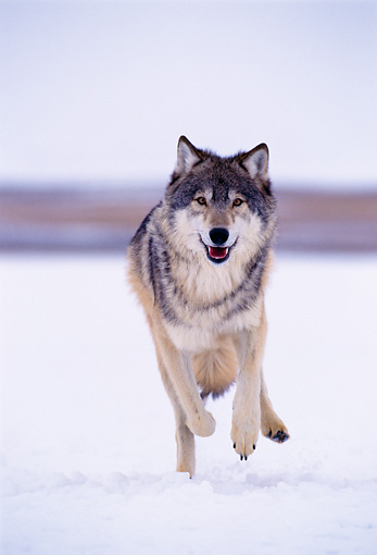 WOV 09 NE0007 01 © Kimball Stock Gray Wolf Running Toward Camera Winter Rocky Mountains