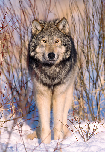 WOV 09 NE0008 01 © Kimball Stock Gray Wolf Standing By Shrubs Winter Midwest