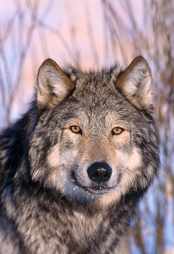 WOV 09 NE0009 01 © Kimball Stock Head Shot Of Gray Wolf Standing By Shrubs Winter Midwest