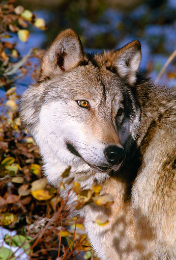 WOV 09 NE0013 01 © Kimball Stock Head Shot Of Gray Wolf Standing By Autumn Foliage Montana