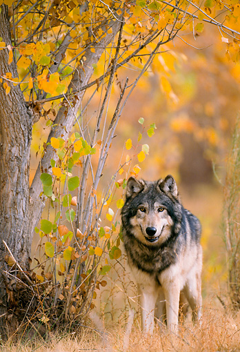 WOV 09 NE0014 01 © Kimball Stock Gray Wolf Standing By Autumn Foliage Rocky Mountains Captive