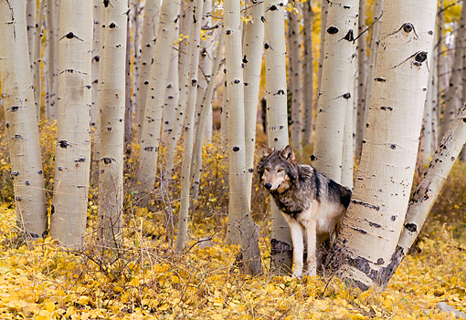 WOV 09 NE0016 01 © Kimball Stock Gray Wolf Standing In Aspen Forest Autumn Rocky Mountains