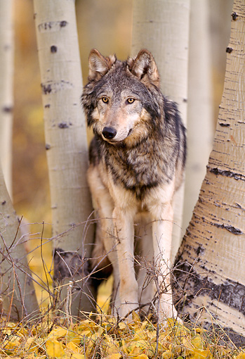 WOV 09 NE0017 01 © Kimball Stock Gray Wolf Standing In Aspen Forest Autumn Rocky Mountains
