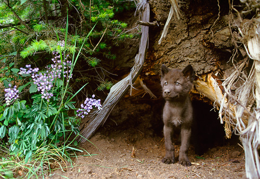 WOV 09 NE0027 01 © Kimball Stock Gray Wolf Pup Sitting By Tree Trunk And Purple Flowers