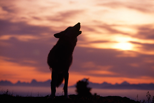 WOV 09 RF0001 01 © Kimball Stock Silhouette Of Gray Wolf Howling At Dawn Clouds