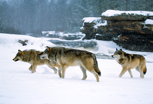 WOV 09 RF0005 01 © Kimball Stock Gray Wolf Pack Crossing Field During Snowfall