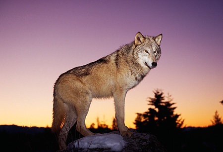 WOV 09 RK0001 14 © Kimball Stock Gray Wolf Standing On Top Of Snow Covered Rock Sunset Background
