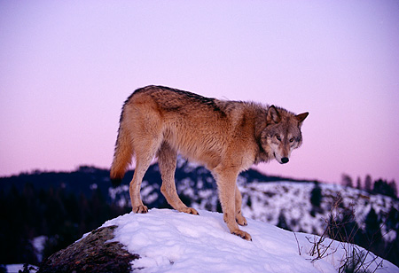 WOV 09 RK0001 17 © Kimball Stock Gray Wolf Standing On Top Of Snow Covered Rock Sunset Background