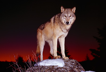 WOV 09 RK0003 03 © Kimball Stock Gray Wolf Standing On Snow Covered Rock Dark Sunset With Tree Background