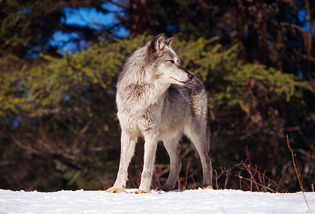 WOV 09 RK0015 01 © Kimball Stock Profile Shot Of Gray Wolf Standing On Snow By Trees