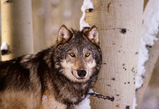 WOV 09 RK0074 01 © Kimball Stock Head Shot Of Gray Wolf Standing By Trees