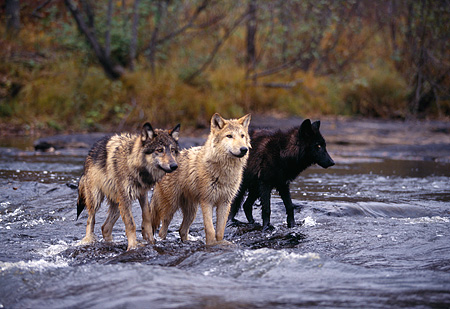 WOV 09 RK0086 05 © Kimball Stock A Group Of Gray Wolves Standing In Stream