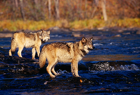WOV 09 RK0095 02 © Kimball Stock Gray Wolves Standing In River