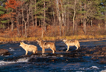 WOV 09 RK0096 03 © Kimball Stock Profile Shot Of Three Gray Wolves Standing In Water Trees Background