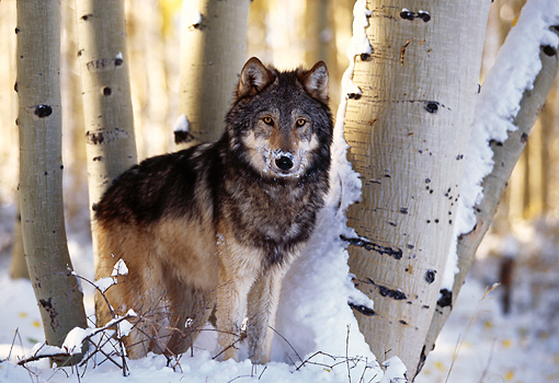 WOV 09 RK0112 01 © Kimball Stock Gray Wolf Standing On Snow By Trees