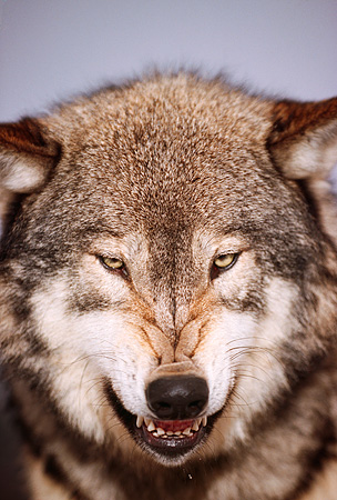 WOV 09 RK0134 12 © Kimball Stock Head Shot Of Gray Wolf Snarling At Camera