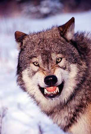 WOV 09 RK0134 73 © Kimball Stock Head Shot Of Gray Wolf Snarling At Camera
