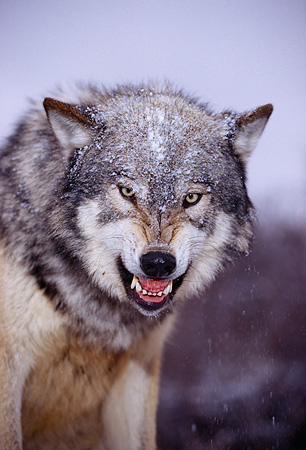 WOV 09 RK0134 80 © Kimball Stock Head Shot Of Gray Wolf Snarling At Camera