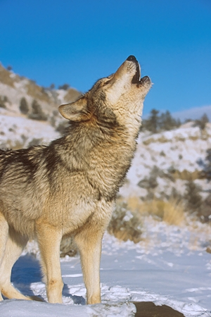 WOV 09 RK0155 41 © Kimball Stock Profile Of Gray Wolf Standing On Snow Howling Blue Sky