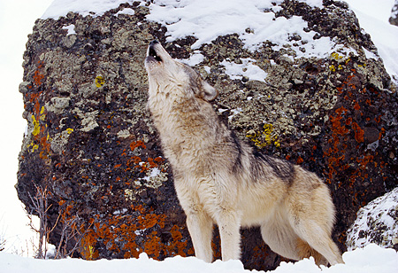 WOV 09 RK0162 07 © Kimball Stock Gray Wolf Standing On Snow By Rock Howling