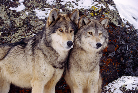 WOV 09 RK0164 50 © Kimball Stock Two Gray Wolves Standing On Snow By Rock