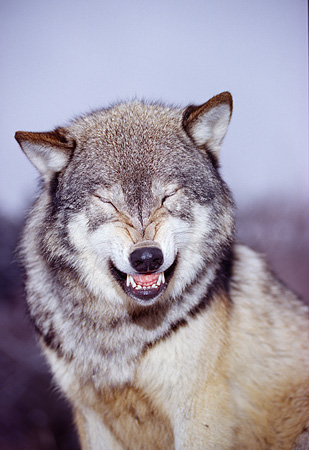 WOV 09 RK0167 13 © Kimball Stock Humorous Head Shot Of Gray Wolf Facing Camera