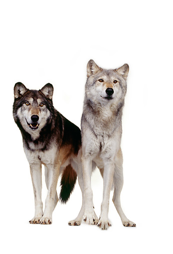 WOV 09 RK0175 05 © Kimball Stock Gray Wolves On White Seamless Background