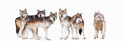 WOV 09 RK0177 01 © Kimball Stock Pack Of Five Gray Wolves With Sheep Disguised In Wolves' Clothing On White Seamless
