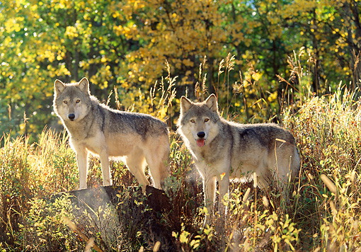 WOV 09 RW0001 01 © Kimball Stock Gray Wolves In Autumn Morning