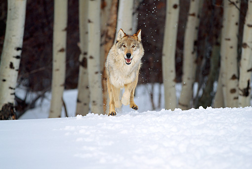 WOV 09 RW0005 02 © Kimball Stock Gray Wolf Running Toward Camera On Snow From Birch Tree Forest