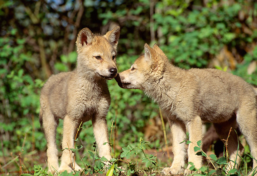 WOV 09 RW0009 01 © Kimball Stock Two Gray Wolf Pups Sniffing One Another