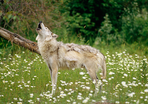 WOV 09 RW0014 01 © Kimball Stock Gray Wolf Howling In Meadow By Woods