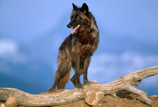 WOV 09 RW0018 01 © Kimball Stock Gray Wolf Standing On Log Studio