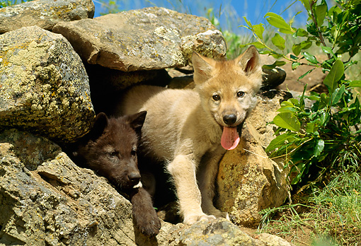 WOV 09 RW0024 01 © Kimball Stock Two Gray Wolf Pups Peering Out Of Den