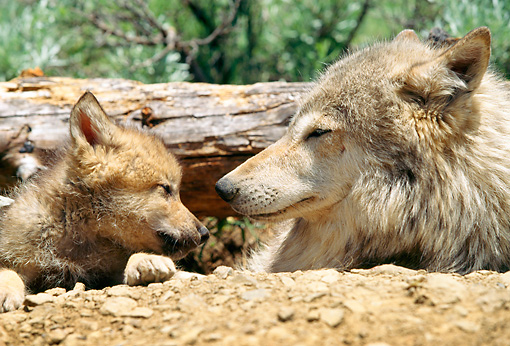 WOV 09 RW0027 01 © Kimball Stock Head Shot Of Gray Wolf Pup And Mother Sitting In Den