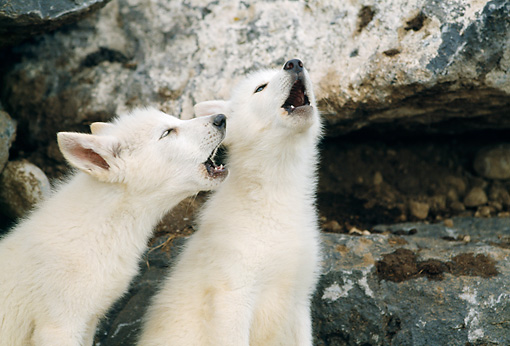 WOV 09 RW0028 01 © Kimball Stock Two Arctic Gray Wolf Pups Howling By Den