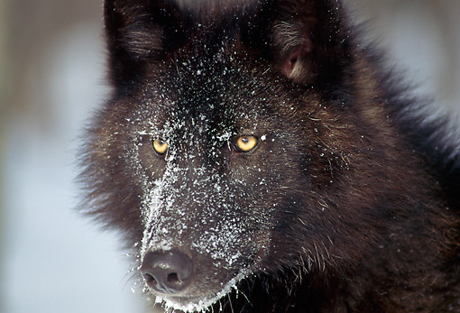 WOV 09 TK0001 01 © Kimball Stock Head Shot Of Gray Wolf In Winter