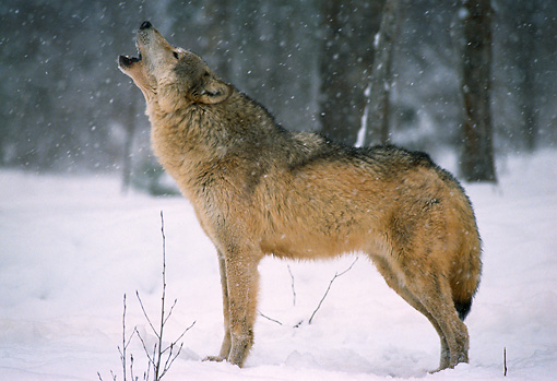 WOV 09 TL0004 01 © Kimball Stock Profile Of Gray Wolf Howling In Snow